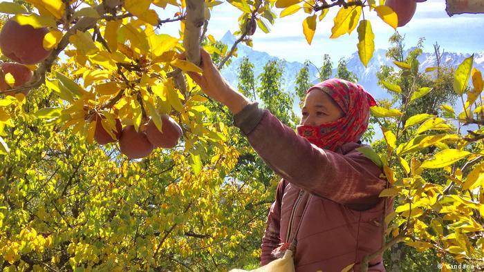 Women pick apples in Indian apple farm