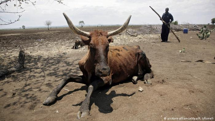 A cattle farmer tries to help a cow stand after it lost all its energy due to a drought in the Chisumbanje area, Zimbabwe