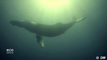DW Eigendreh aus der Eco Africa Sendung #194 Beschreibung: Wal in der Nähe von Südafrika.