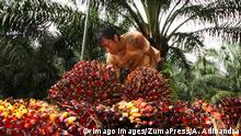 November 10, 2018 - Bogor, West Java, Indonesia - A male worker seen collecting palm oil fruits at the Nusantara VIII palm oil plantation. Bogor Indonesia PUBLICATIONxINxGERxSUIxAUTxONLY - ZUMAs197 20181110_zaa_s197_127 Copyright: xAdrianaxAdinandrax