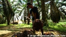 March 27, 2019 - Banyuasin, South Sumatra, Indonesia - SOUTH SUMATRA, INDONESIA - MARCH 28 : Indonesian workers are harvesting oil palm at Banyuasin on March 27, 2019 in South Sumatra Province, Indonesia. Indonesia is the largest exporter of palm oil to Europe, the European Union will stop using palm oil altogether as biofuels by 2030. Banyuasin Indonesia PUBLICATIONxINxGERxSUIxAUTxONLY - ZUMAys1_ 20190327_zaf_ys1_005 Copyright: xM.xTohirx