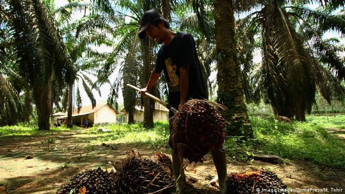 A worker havesting palm oil in South Sumatra, Indonesia