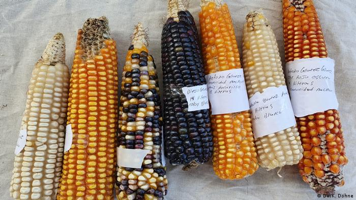 Beige, yellow, colorful and black corn cobs.