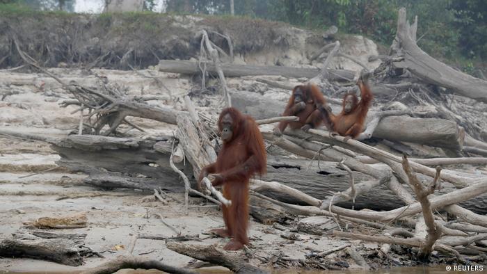 Los incendios forestales de un mes en las regiones indonesias de Sumatra y Borneo destruyeron más de 40.000 hectáreas este año. Los orangutanes amenazados de extinción murieron, y los que sobrevivieron tienen un hábitat muy reducido.