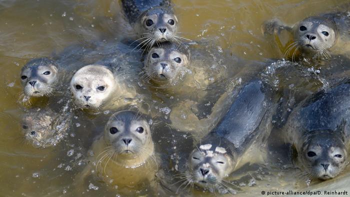 Bebés de focas esperan la hora del almuerzo en la estación de rehabilitación de Friedrichskoog, estado federado de Schleswig-Holstein en el Mar de Norte. Aunque las focas comunes no tienen orejas, todo lo perciben en su hábitat. Con más prociones de pescado pueden alcanzar los 130 kilos de peso en su edad adulta.