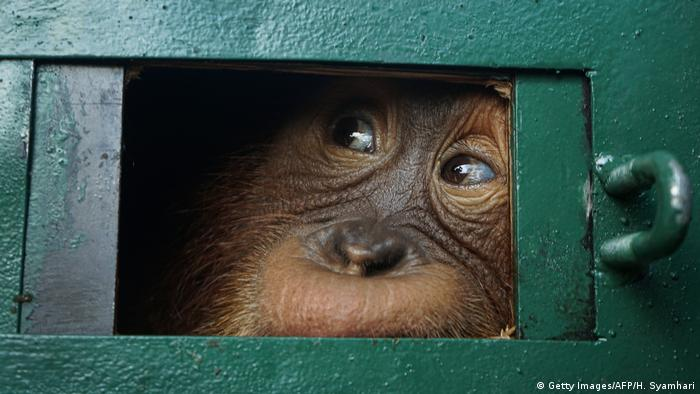 An Orangutan in a cage on its way to being released back into the wild
