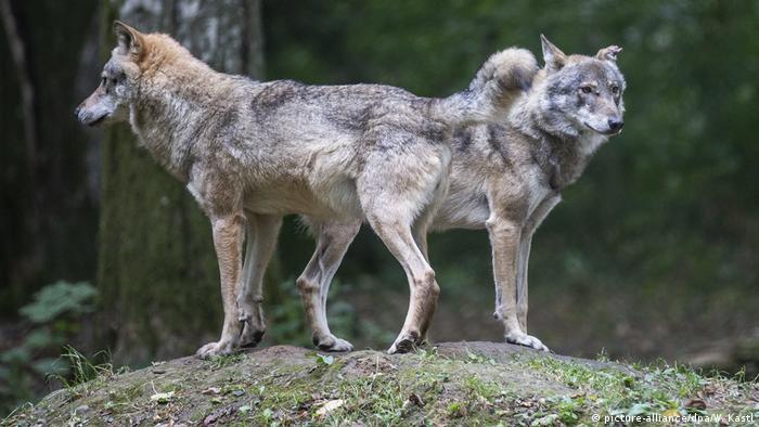Polen Reservat Pokazowy Zubrow | Wölfe (picture-alliance/dpa/W. Kastl)