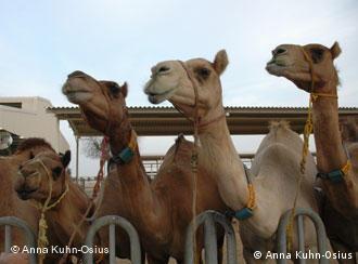 drei Kamele auf einer Kamelmilchfarm in Dubai