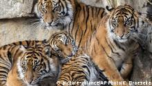 FILE— Handout picture shows four young Sumatran tigers in the zoo in Berlin Germany, Nov.23, 2019. (AP Photo/Karl Broeseke/Berlin Tiergarten Zoo)  