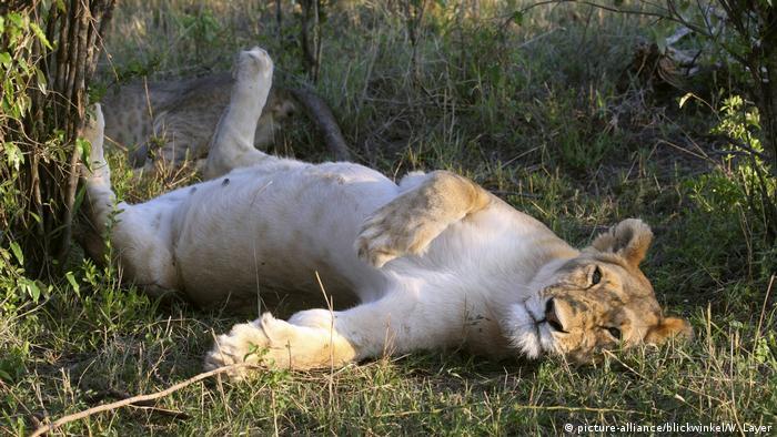 Löwe, Panthera leo Symbolbild
