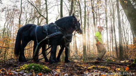 BdT Pferde beim Holztransport im Einsatz (picture-alliance/dpa/P. Schulze)