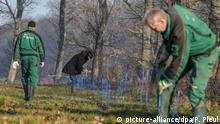 20.12.2019, Brandenburg, Guben: Forstwirte vom Landesbetrieb Forst Brandenburg und weitere Helfer stellen einen Schutzzaun gegen die Afrikanische Schweinepest nahe dem Grenzfluss Neiße auf. Das Risiko der Einschleppung der Afrikanischen Schweinepest (ASP) durch infizierte Wildschweine aus Westpolen nach Deutschland wird größer. Das Land Brandenburg setzt daher in enger Abstimmung mit den Landkreisen ab dieser Woche lokal und zeitlich begrenzt mobile Wildschutzzäune je nach Gefährdungslage entlang der Flüsse Neiße und Oder ein, um die Einschleppung der ASP durch infizierte Tiere abzuwehren. Foto: Patrick Pleul/dpa-Zentralbild/dpa +++ dpa-Bildfunk +++ | Verwendung weltweit