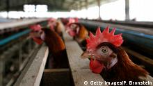 SUPHANBURI, THAILAND - JANUARY 27: A chicken peers out from a cage at the Sanoh chicken farm January 27, 2007 in Suphanburi, Thailand. The family run Sanoh farm has around 5,000 chickens located in one of the main chicken farm areas two hours north of Bangkok. Although the farm has been completely free of Bird Flu, its owners say that they are struggling to make ends meet with lower prices on eggs and increased prices on chicken feed. New outbreaks of bird flu are causing concern in the Asian region with new cases surfacing in Thailand, China and Vietnam. Officials from the United Nations Food and Agriculture Organization (FAO) say that the latest outbreaks are not as serious as 2004 but worry about the spike in Avian flu. (Photo by Paula Bronstein/Getty Images)