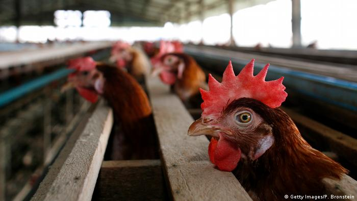 Thailand - Hühnerfarm - Chicken (Getty Images/P. Bronstein)