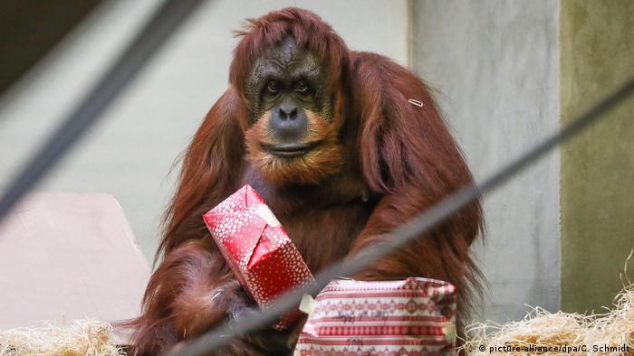 Affen der Wilhelma bekommen Geschenke (picture-alliance/dpa/C. Schmidt)