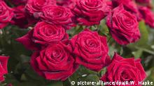 mit Tau benetzte rote Rosen