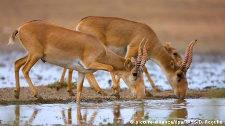 Two saigas drinking from a stream