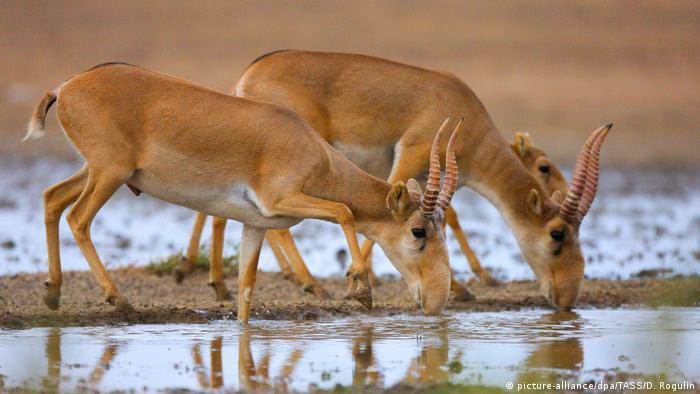 Drei Saigas oder Saigaantilopen beugen sich zum Trinken über eine Wasserstelle. Die hellbraunen Tiere haben einen Kopf, der wie eine Banane geschwungen ist und gedrehte, nach oben gerichtete Hörner. Vom Kopf und der Fellfärbung ähneln die Saigas Kamelen. Der Schwanz besteht nur aus einem braunen Stummel.