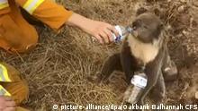 Buschbrände in Australien - Koala trinkt aus Fkasche