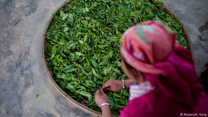 A woman is sorting tea leaves in China