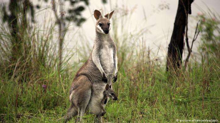 """Aquí, un """"wallaby de cara bonita"""" presenta a su cachorro."""