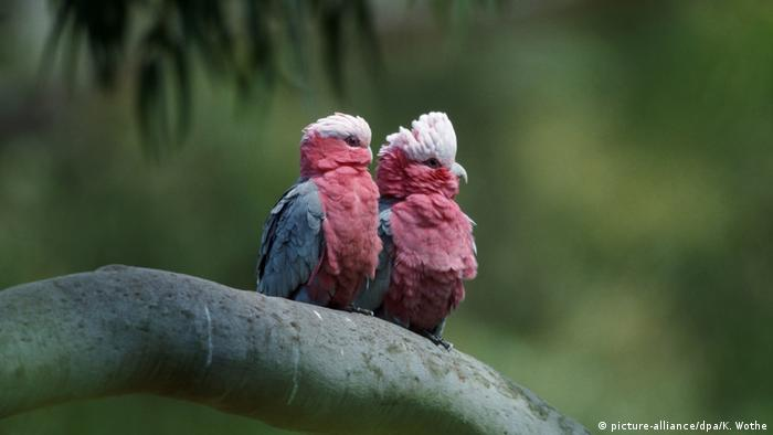 Cacatúas rosadas.