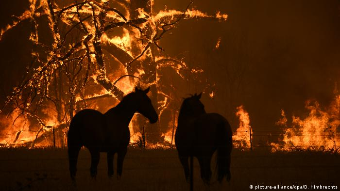 Horses in front of bushfire