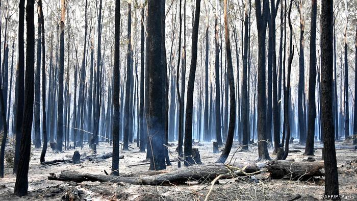 Trees are burned black after a bushfire