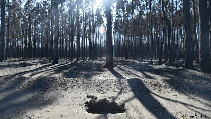Koala killed in bushfire, Australia