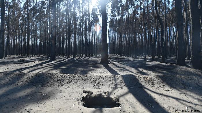 Koala killed in bushfire, Australia