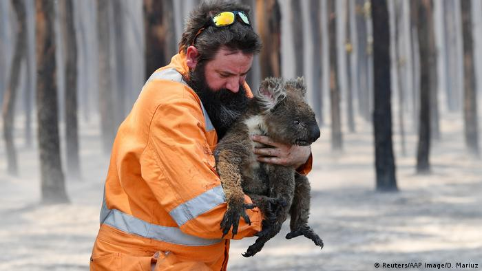Fireman carries a burnt koala.