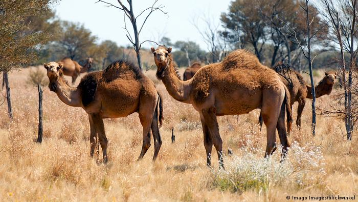 Wild camels pictured in Australia
