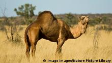 Dromedary camel Camelus dromedarius part of feral population, Little Sandy Desert, Western Australia, May. PUBLICATIONxINxGERxSUIxAUTxONLY 1539185 JirixLochman