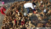 ARCHIV 2006 *** WUHAN, CHINA - APRIL 19: (CHINA OUT) A vendor picks chickens for customers at a poultry wholesale market April 19, 2006 in Wuhan, Hubei Province, China. A 21-year-old man, a migrant worker in Wuhan, has been infected with H5N1 bird flu and is now in a critical condition, the Ministry of Health said on April 18. The case brings the total number of human cases of bird flu in China to 17, resulting in 11 deaths, according to state media. (Photo by China Photos/Getty Images)