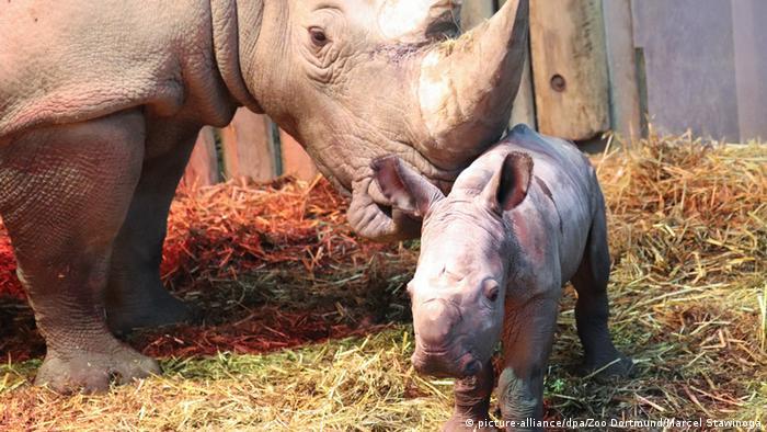 Rhinoceros mother Shakina nuzzles her newborn baby at the Dormund Zoo (picture-alliance/dpa/Zoo Dortmund/Marcel Stawinoga)