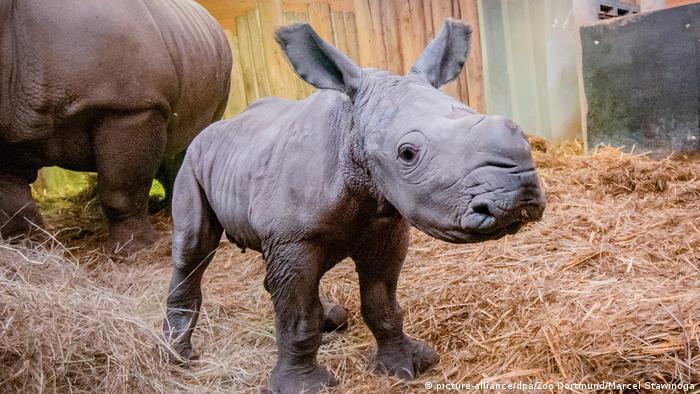 Dortmund Zoo welcomes baby white rhino