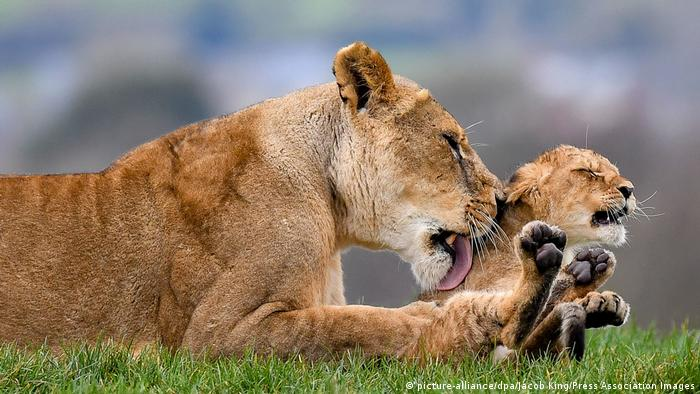 Una leona lame a su cachorro.