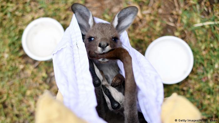 Детеныш кенгуру, найденный спасателями