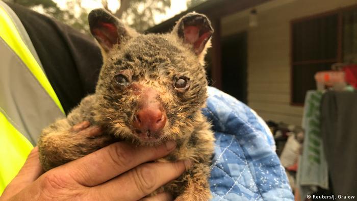Brushtail possum suffering burns from Australia's 2019/2020 bush fires