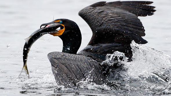 A double-crested cormorant surfaces after catching an alewife (AP Photo/Robert F. Bukaty)