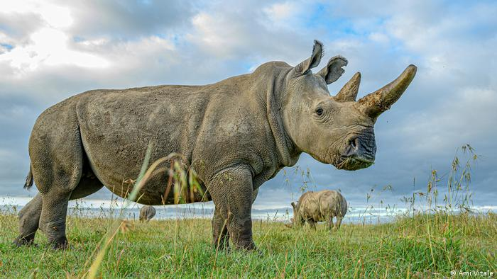 A rhino looks into the camera, while two more graze behind it