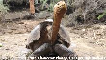Ecuador Schildkröten l Diego, eine 100-jährige Schildkröte, auf der Insel Santa Cruz, Galapagos