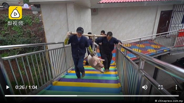Pig being carried up to a jumping platform