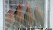 Chickens in a cage (picture-alliance/imageBROKER/Kreuzer)
