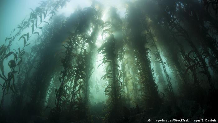 USA Seetangwald vor Kalifornien