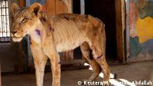 Sudan Khartum | unterernährte Löwen im Al-Qureshi Park