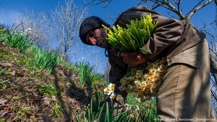 برداشت گل از نرگس زارهای مازندران، از اواسط آذرماه آغاز شد و تا آخرین روزهای بهمن ادامه دارد. شهرستانهای جویبار، نوشهر، چالوس، آمل و ساری، کانون کشت گل نرگس در مازندران هستند.