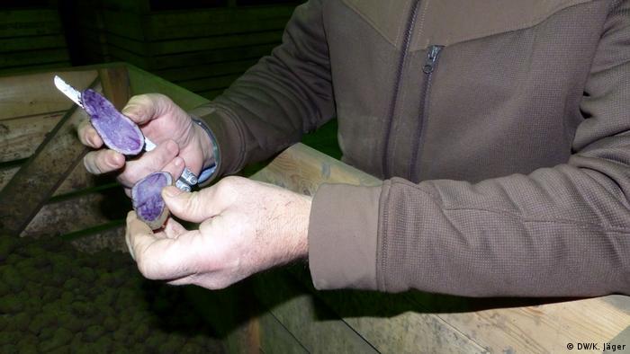 A farmer holds a potato with purple flesh