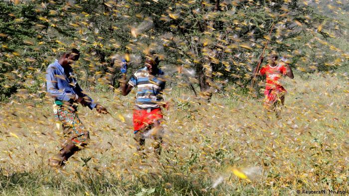 Three people fend off a swarm of locusts in Kenya