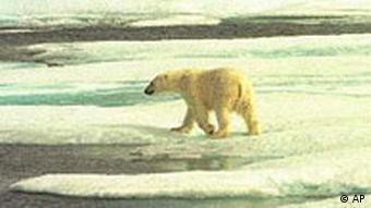 Eisbär in Alaska